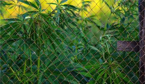 What are the Security Challenges of Protecting the Cannabis Industry?